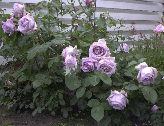 Роза блю мун посадка и уход